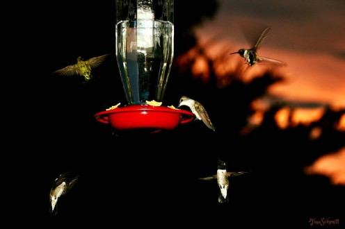 As you can see, sometimes hummingbirds get along with each other just fine.