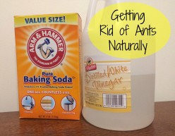 The Three Step System to Get Rid of Ants in the Kitchen Naturally
