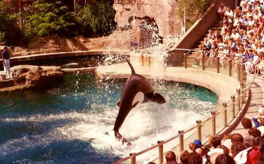 Orca whale performing at the Vancouver Aquarium