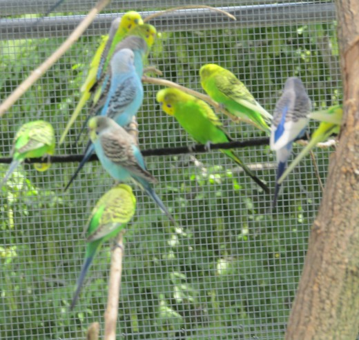At the seasonal Aussie Aviary in Boston's Franklin Park Zoo, visitors can stroll among and even handfeed hundreds of colorful budgies in an outdoor aviary. - Photo by George Sommers