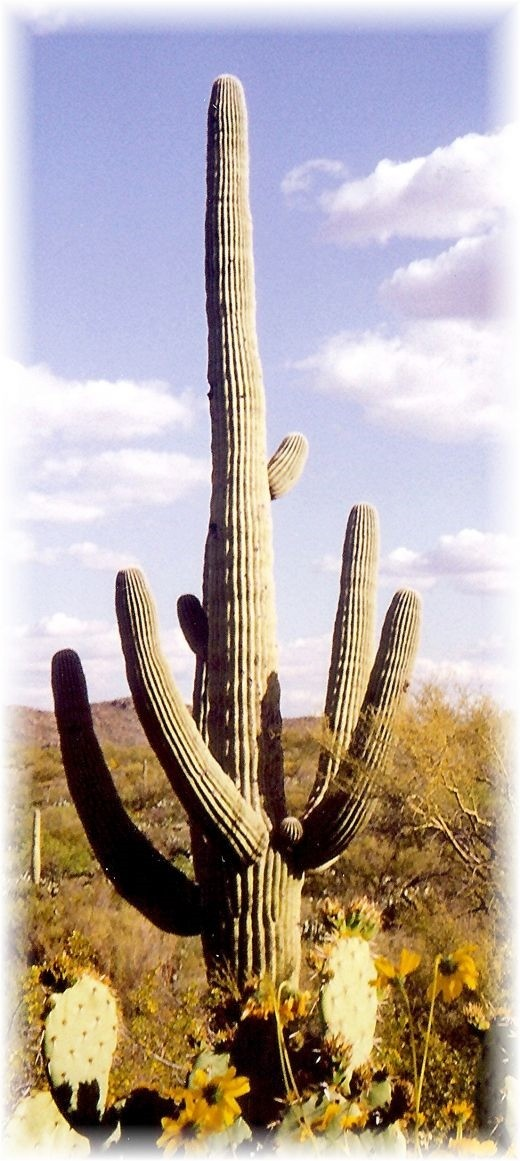 One very old saguaro in Saguaro National Park!
