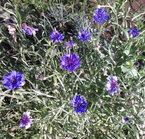 Deep blue Cornflowers