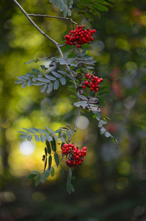 Mountain ash berries add splashes of red amongst the green foliage.