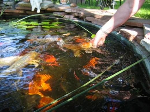 Tips for raising koi in your pond for Where to buy koi fish near me