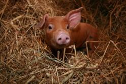 Stinky Ol' Pig
