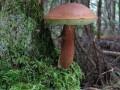 Шляпка польского гриба в диаметре вырастает от 4 до 12 см, может...