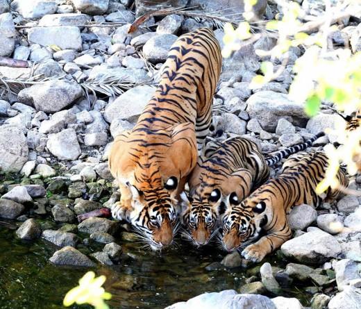 Tigress & Cubs