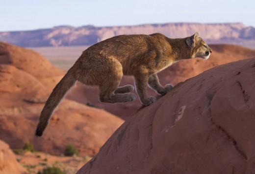 Mountain lions can leap 40 feet.