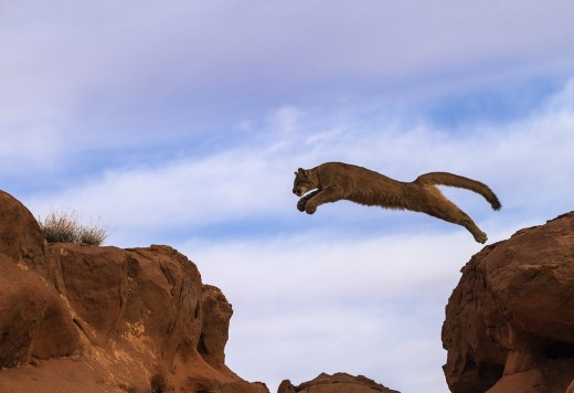 A small jump for a mountain lion.