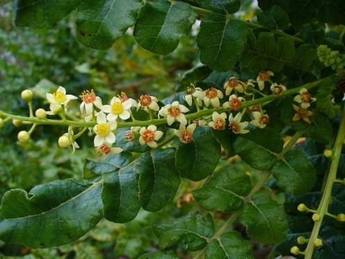 Boswellia sacra