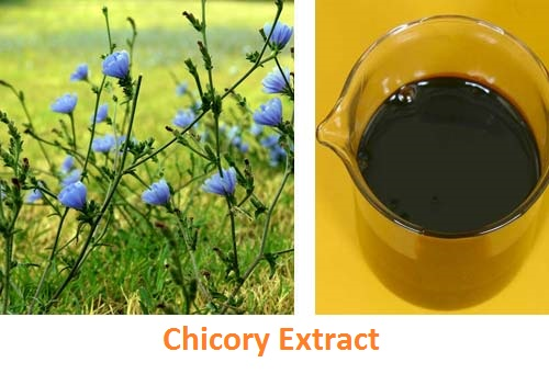 High quality Chicory Extract