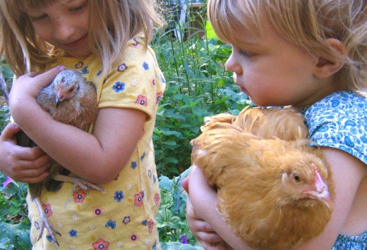 Be sure to supervise small children when tending to the flock.