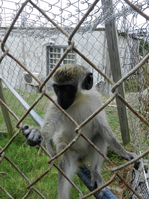 Monkeys brought to the island by the French are wild and also kept as pets.
