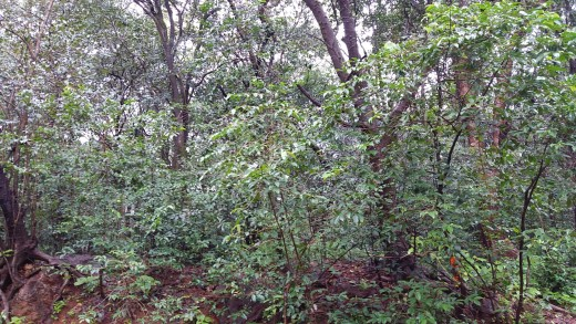 Green swathes of Matheran