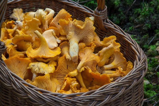 Chanterelles from the forest
