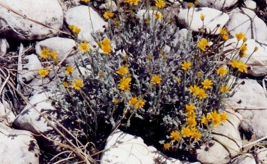 This blooming plant is called BRITTLEBUSH