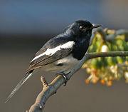 Oriental magpie robin    Image Courtesy Wikipedia