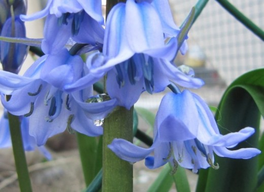 Blubells can be planted in autumn and will flower the following spring.
