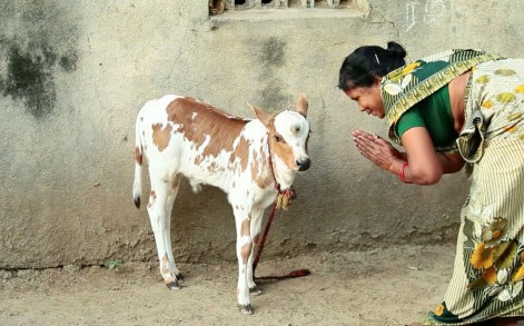 Cow being worshipped and is considered to bring good luck.
