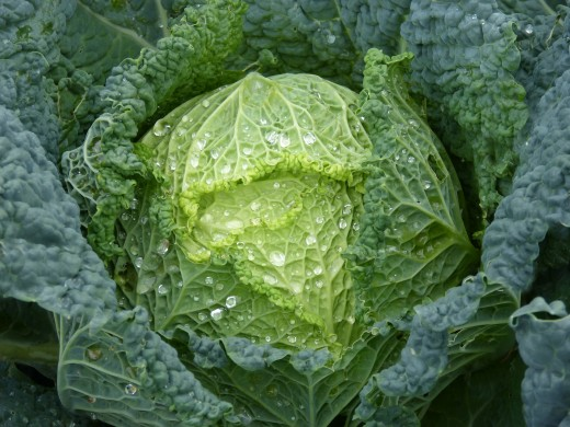 Chinese (napa) cabbage is sturdier than lettuce but doesn't have the sharp taste of head cabbage