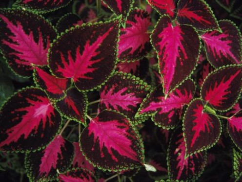 Coleus makes a beautiful addition to either your yard or your den.