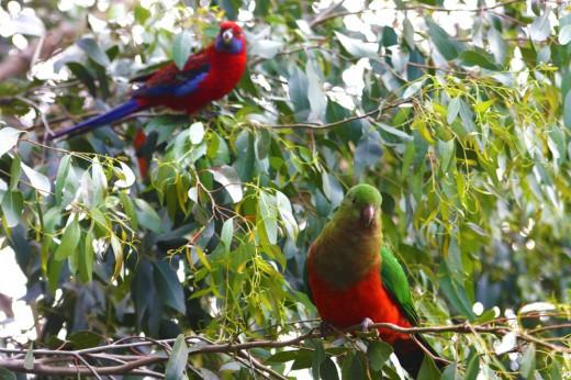 Wild Parrots: Kennett River