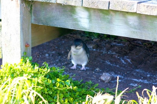 Penguin under the boardwalk at Phillip Island