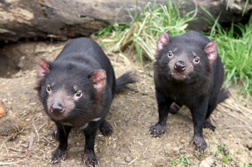 Tasmanian Devils: Maru Fauna Park