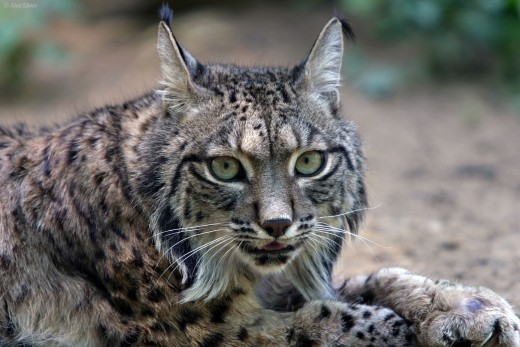 The long and distinguishable beard of an Iberian Lynx