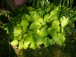 This hosta spreads quickly.