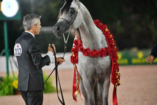 Arabian Junior Stallion Halter Gold-112 SF Baahir Jawhar, Ted Carson, Chloe Cox / Al Cox, Sycamore Farm LLC