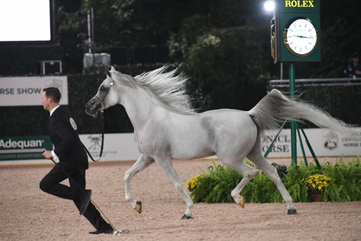 Arabian Senior Stallion Halter Gold-128 Baha AA, Andrew Sellman, Baha Partners LLC