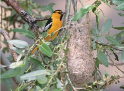 Attract the Hooded Oriole to Your West Coast Yard or Garden