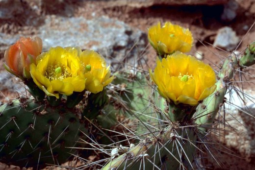 Prickly pear cactus plant with big thorns flowering