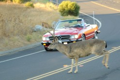 How To Avoid Colliding With Deer and Moose