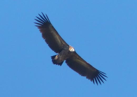 Himalayan Griffon Vulture