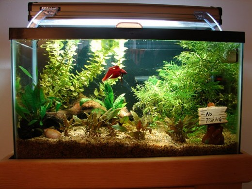 This is a great example of what a betta fish habitat should look like!