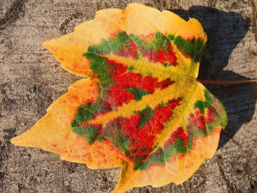 The amazing natural colors of fall leaves are captured in this autumnal vine leaf.