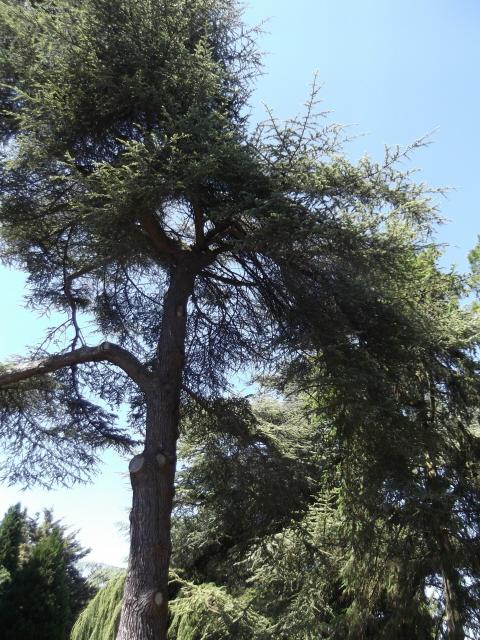 Giant Pine