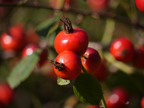 How to Gather Rose Hips and Make Them Into Tea