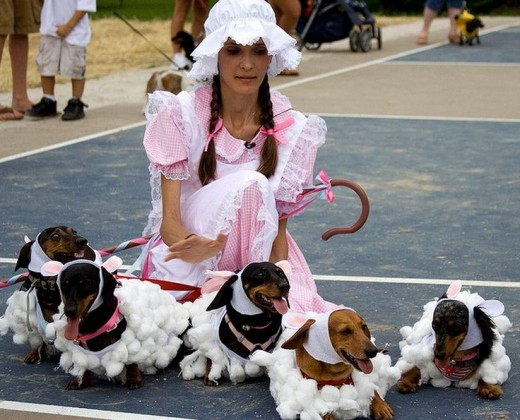 Little Bo Peep hasn't lost any sheep this Halloween.  Look at these Dachshund dressed up like sheep and their loving owner dressed up as Bo Peep!