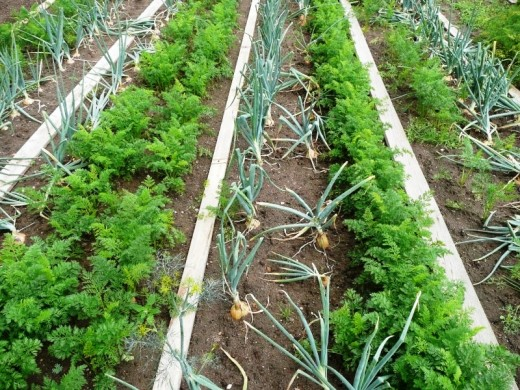 Companion planting carrots and onions.