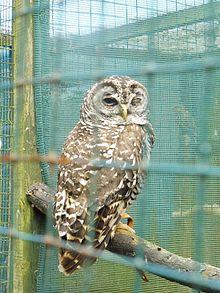 Chaco Owl