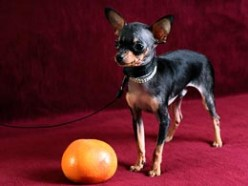 Toy terrier Patric, dog in point