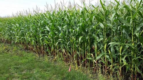 A cornfield. Photo taken Aug. 22, 2014.