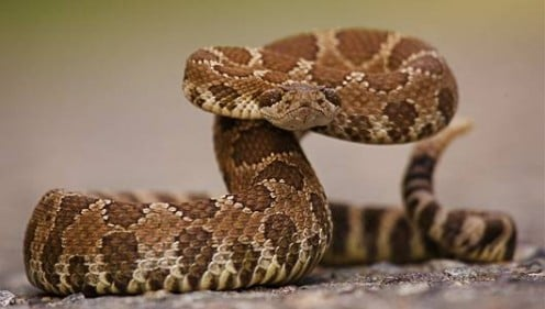 Rattlesnakes - you will see plenty of them at the American International Rattlesnake Museum, and learn everything there is to know about them in their many exhibits.