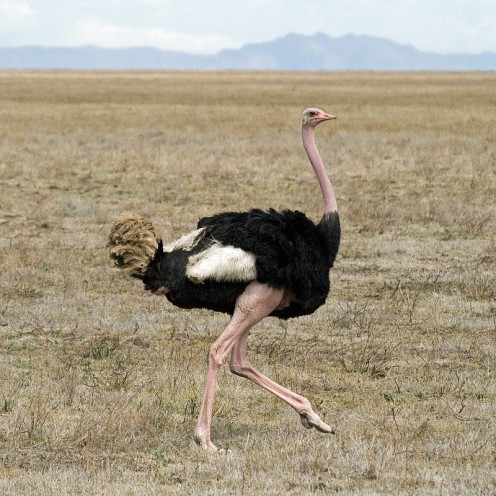 Ostrich (Struthio camelus), Serengeti National Park, Tanzania (This photo by mistake taken with IS0 1600 setting). The original has been modified by cropping and adjustment of the color, contrast and brightness.