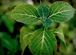 Use Wisdom When Using the Herb Salvia Divinorum