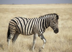 Why Aren't Zebras Domesticated?