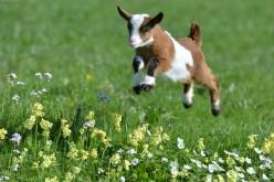 A Silly Goat Story Joke